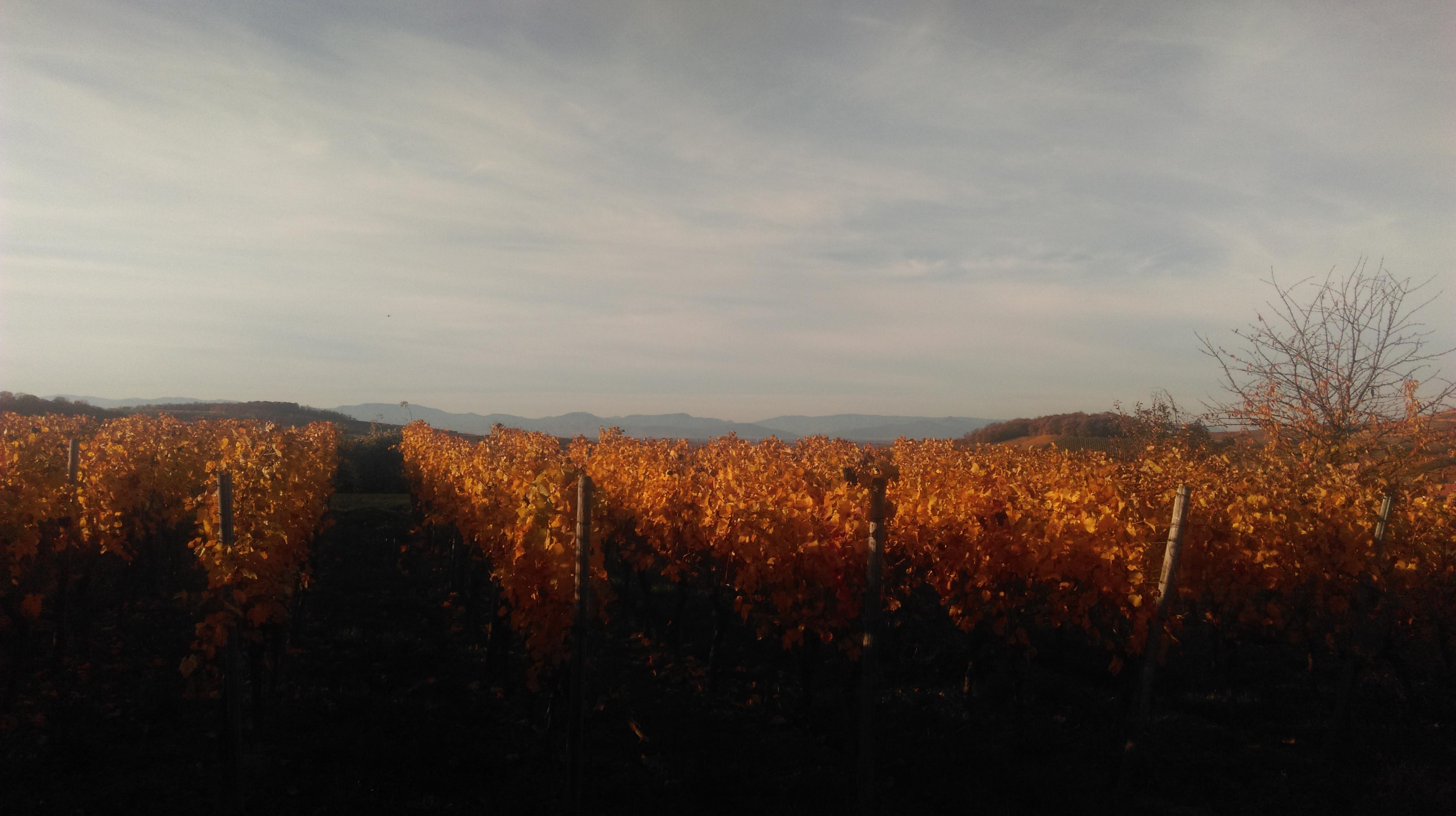 Goldener Oktober mit Blick auf die Vogesen